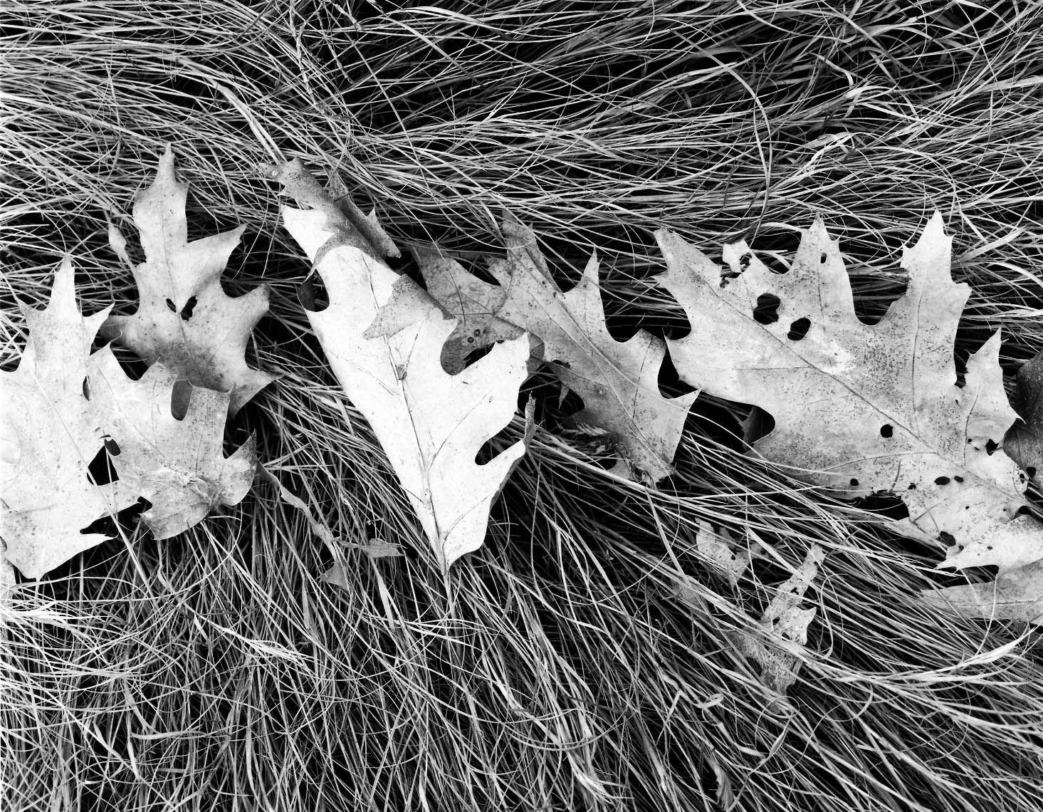 Oak-Leaves-and-Salt-Hay